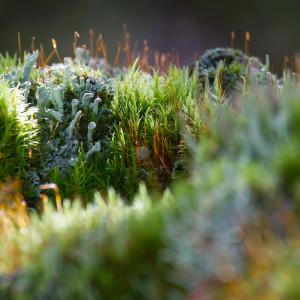 Muschio e licheni (Cladonia fimbriata)
