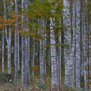 Muro d'alberi  Cansiglio