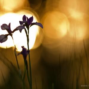Palù Moriago della B. (Iris sibirica)