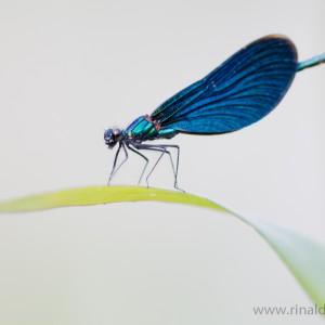Damigella (Calopteryx splendens)