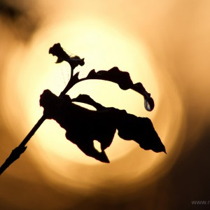 Palù (Cornus sanguinea)