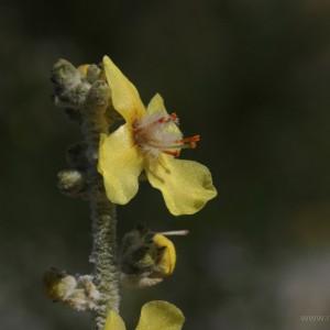 Verbasco (Verbascum thapsus)