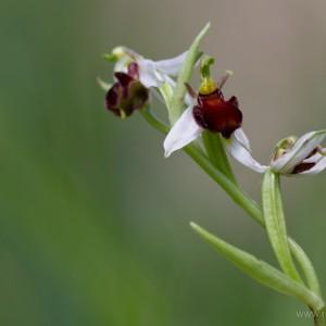 Ophrys apifera var. fulvofusca
