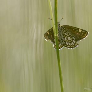 Lepidotteri (Heteropterus morpheus)