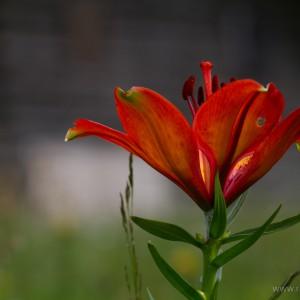 Giglio rosso di San Giovanni (Lilium bulbiferum)