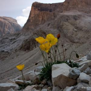 Dolomiti_Papavero retico (Papaver alpinum rhaeticum)