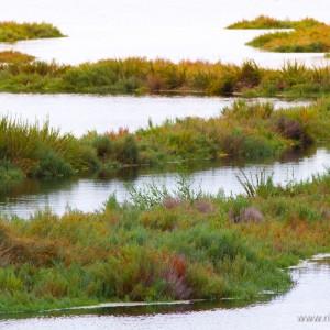 Delta del Po (Euphorbia paralias)