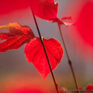 La sanguinella (Cornus sanguinea)