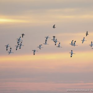 Lio Piccolo (VE) Avocette (Recurvirostra avosetta)